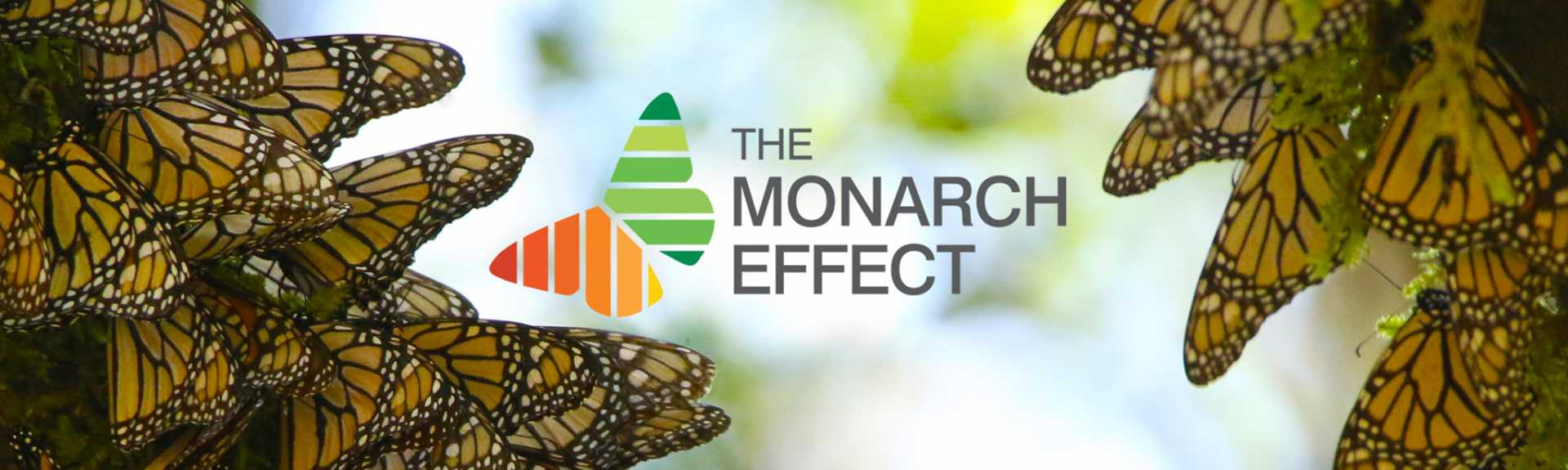 The Monarch Effect